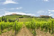 Italy, Tuscany, Monsummano Terme, vineyard - JUNF01188
