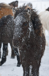 Icelandic foal coverd in snow close to the the mountain pass vikurskad in north Iceland - AURF03232