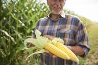 Farmer holding two corn cobs at cornfield - ABIF00952