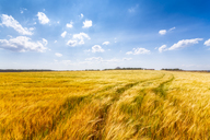 United KIngdom, East Lothian, Barley field - SMAF01142