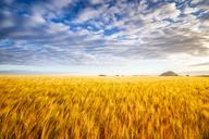 United KIngdom, East Lothian, Barley field, Hordeum vulgare - SMAF01145
