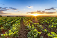 United KIngdom, East Lothian, field of brussels sprouts, Brassica oleracea, against the evening sun - SMAF01148