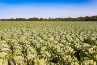 United KIngdom, East Lothian, field of brussels sprouts, Brassica oleracea - SMAF01151