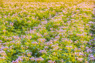 United KIngdom, East Lothian, flowering potato field, Solanum tuberosum, in the morning light, full frame - SMAF01154