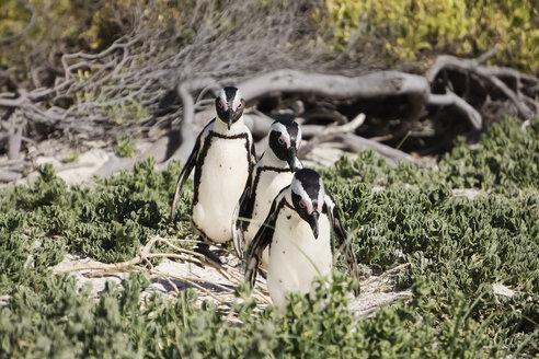 Africa, Simon's Town, Boulders Beach, Brillenpinguin, Three black-footed penguins walking, Spheniscus demersus - WEF00457