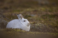 Mountain hare Lepus timidus Close up portrait of an adult in its white winter coat trying to conceal itself against a rock . February. Scotish Mountains, Scotland, UK. - AURF03461