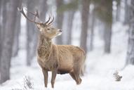 Red deer Cervus elaphus, Stag in snowfall, Highlands,Scotland - AURF03506