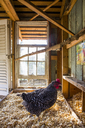 A backyard chicken coop in Austin, Texas houses a handful of chickens and provides daily eggs for a family. - AURF03574
