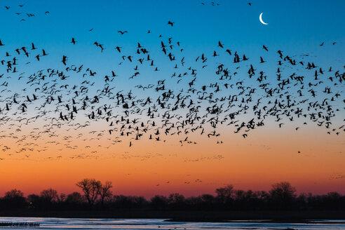 Flock of sandhill crane (Antigone canadensis) birds at sunset, Platte River, Kearney, Nebraska, USA - AURF03938