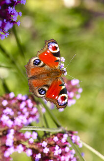 Peacock butterfly on blossom, Inachis Io - JTF01057