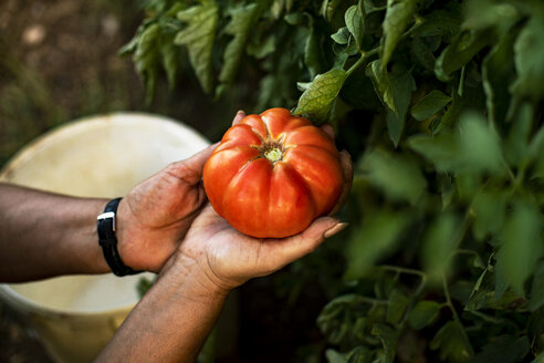 Hands of a woman holding a tomato - ACPF00322