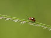 Thailand, ladybird, coccinellidae - ZCF00653