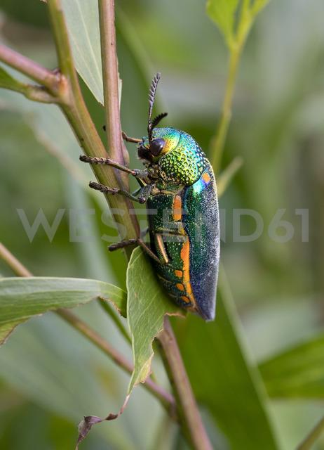 Thailand, Jewel beetle, Buprestidae - ZCF00656