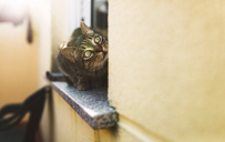 Tabby cat looking up, sitting on window sill - RAEF02142