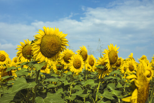 Field of sunflowers and clouds in the background - ACPF00323