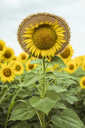 Sunflower with a straw hat - ACPF00332