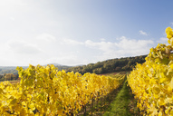 Germany, Rhineland-Palatinate, vineyards in autumn colours, German Wine Route - GWF05646