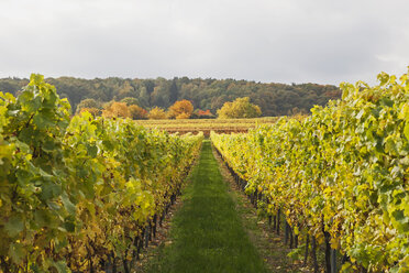 Germany, Rhineland-Palatinate, vineyards in autumn colours, German Wine Route - GWF05649