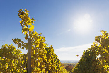 Germany, Rhineland-Palatinate, vineyards in autumn colours, German Wine Route - GWF05655