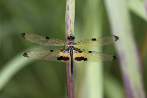 Rhyothemis phyllis, yellow-striped flutterer, dragonfly, close-up - ZCF00659