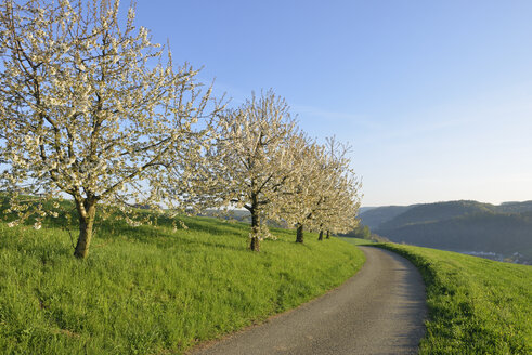 Switzerland, blossoming cherry trees on a meadow besides country road - RUEF01940