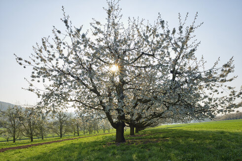Switzerland, blossoming cherry trees on a meadow at backlight - RUEF01943