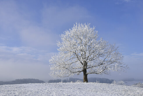 Germany, frost-covered tree in winter - RUEF01946