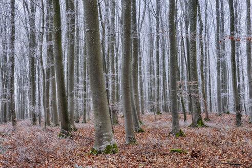 Hoar-frost at beech forest - RUEF01949