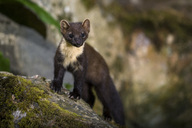 Portrait of pine marten on a rock - MJOF01551
