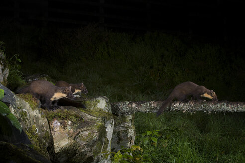 Three pine martens by night - MJOF01554