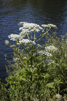 Giant Hogweed - WIF03606