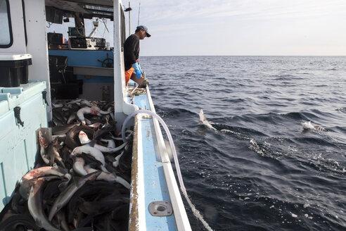 A fisherman catches dog fish. - AURF04406