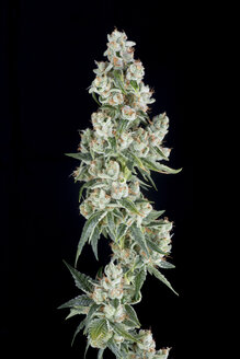 A medical marijuana plant inside Rx Green Solutions research and dynamics facility. This flower of OG Tahoe is a popular cannabis strain known for its pain relieving and sedative effects. - AURF04511