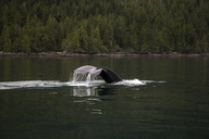 A Whale Tail Breaks The Surface Of Dark Green Calm Water With Forest In Background - AURF04547