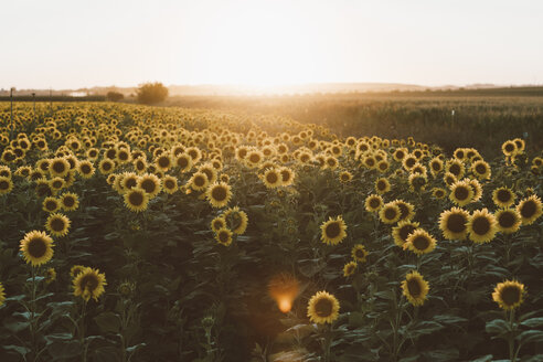 Field of blooming sunflowers at sunrise - OCAF00368