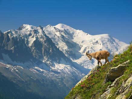 A young ibex, or mountain goat, in front of the Mont Blanc. - AURF04591