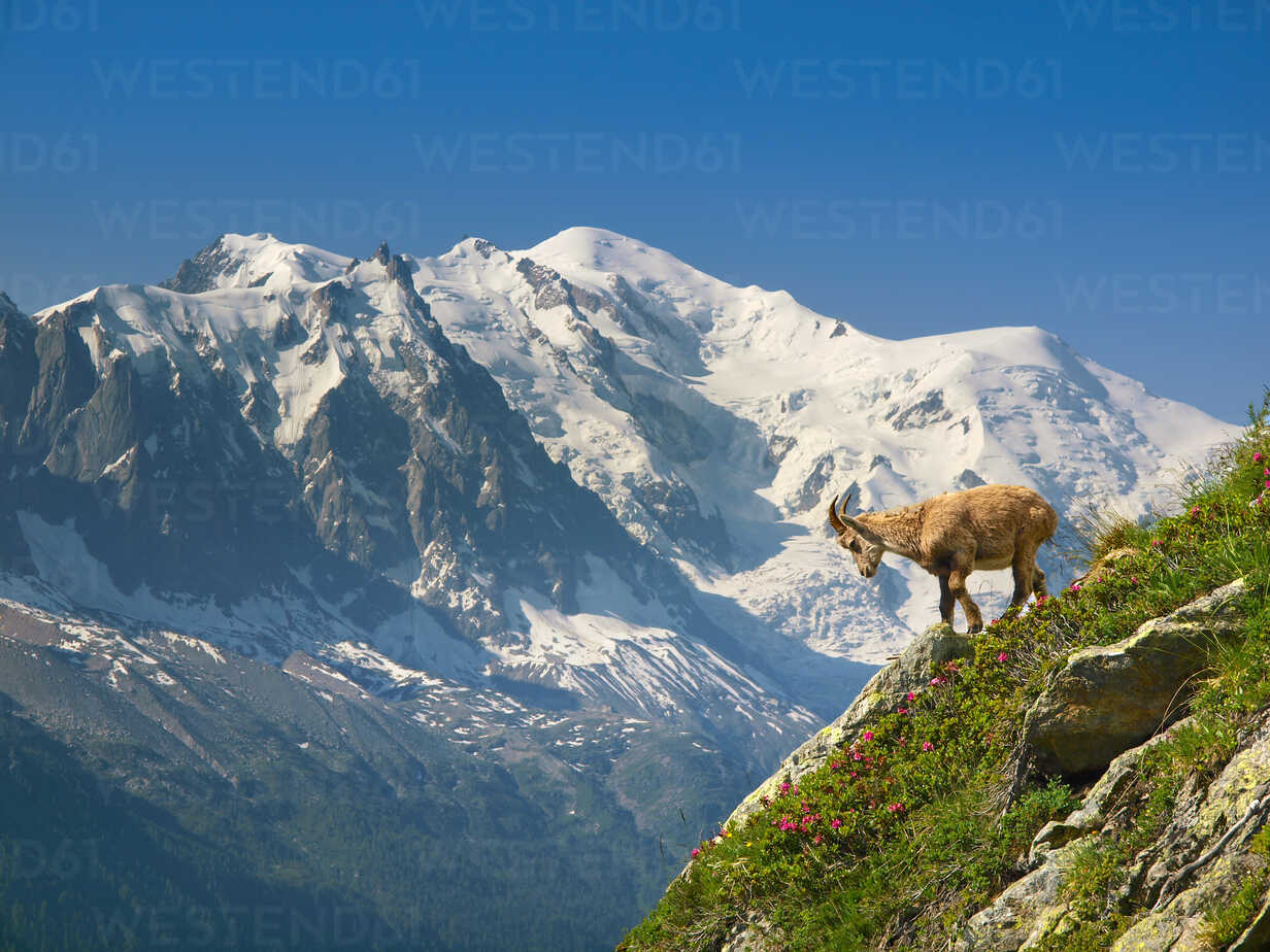 A young ibex, or mountain goat, in front of the Mont Blanc. - AURF04591 - Cavan Images/Westend61