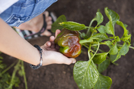 A Woman Harvests A Pepper From Her Garden In Fort Langley - AURF04648