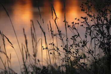Germany, grasses at the lakeside, afterglow - JTF01064