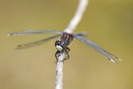 White-faced darter on twig - MJOF01559