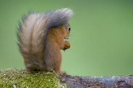 Back view of red squirrel - MJOF01562
