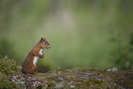 Red squirrel standing on hind legs - MJOF01565