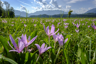 Germany, Bavaria, Murnauer Moos, Meadow saffron growing in the field - LBF02101