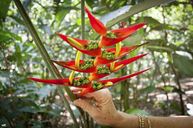Hand Holding A Heliconia Flower With Seeds - AURF05002