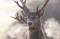 Red Deer. Cervus elaphus. Single adult Stag in early morning light with breath visible, Somerset. - AURF05422