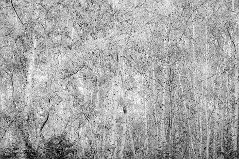 Germany, birch forest - JTF01077