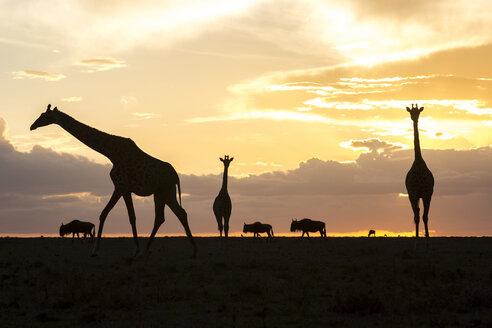 Giraffes and wildebeests silhouetted at sunset, Masai Mara National Reserve, Kenya - AURF05457
