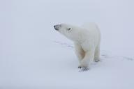 Someone's coming?, Ursus Maritimus, Spitzbergen, Svalbard - AURF05605