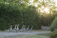 Geese walking in single file on a path - FBAF00086