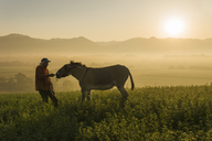 Italy, Tuscany, Borgo San Lorenzo, senior man feeding donkey in field at sunrise above rural landscape - FBAF00101